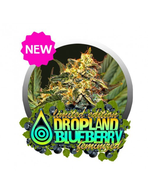DROPLAND BLUEBERRY